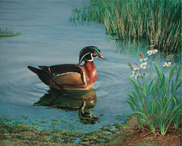 Wood Duck Shallow Water
